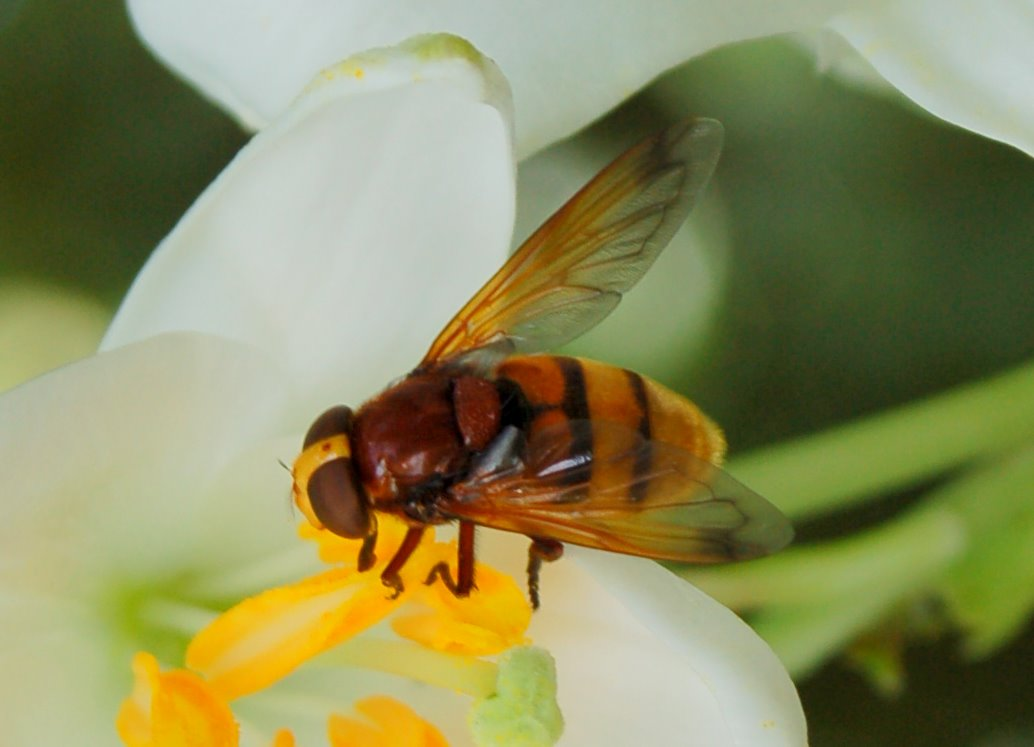 Volucella zonaria - Syrphidae