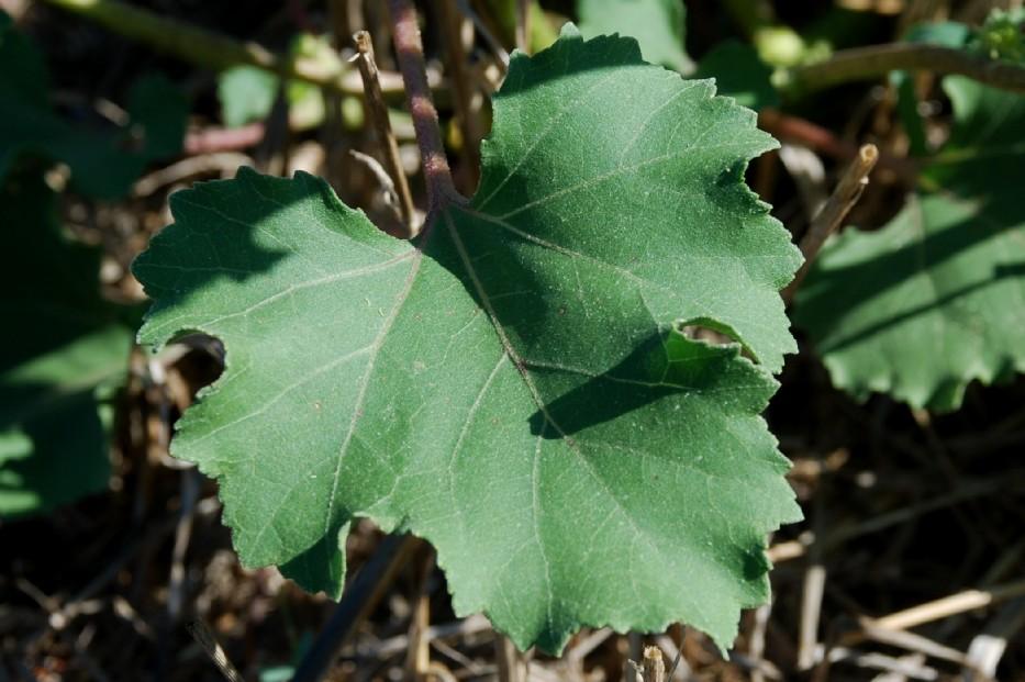 Xanthium italicum 14