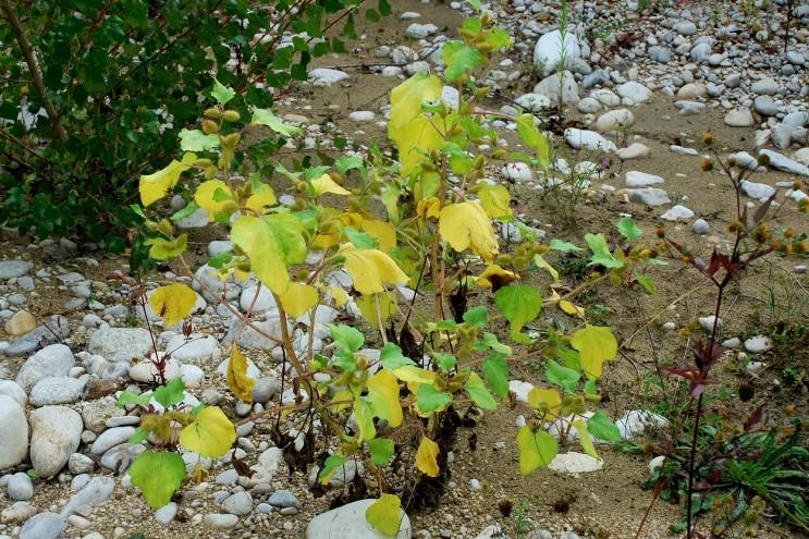 Xanthium italicum 23