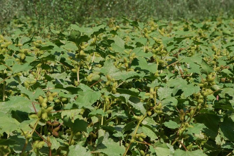 Xanthium italicum 26