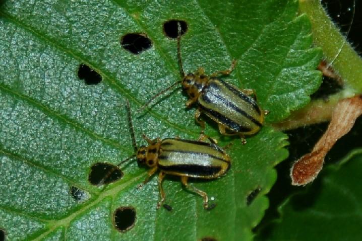 Xanthogaleruca luteola - Chrysomelidae