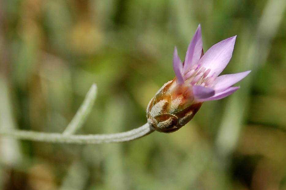 Xeranthemum cylindraceum