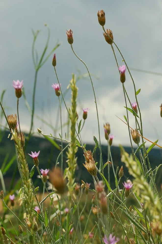Xeranthemum cylindraceum 10