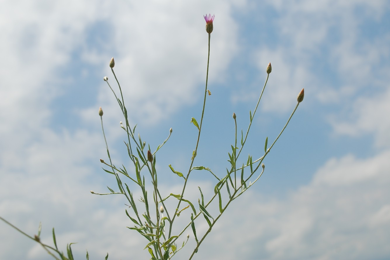 Xeranthemum cylindraceum 12