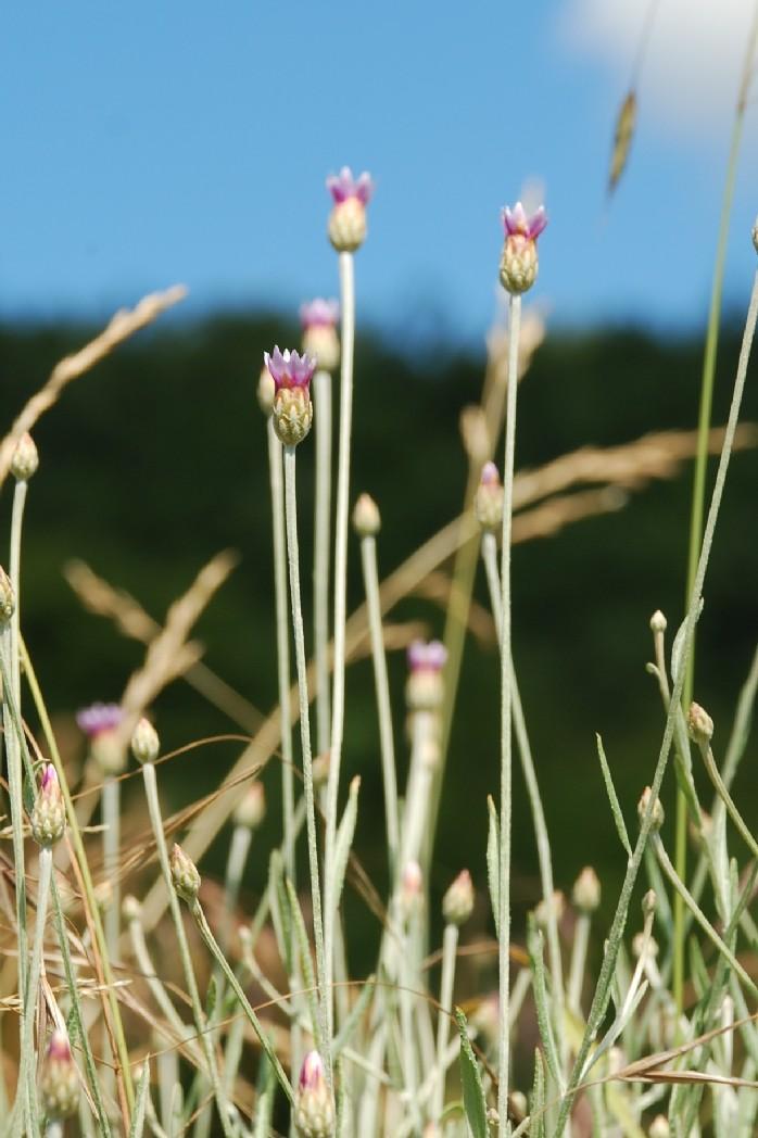 Xeranthemum cylindraceum 14