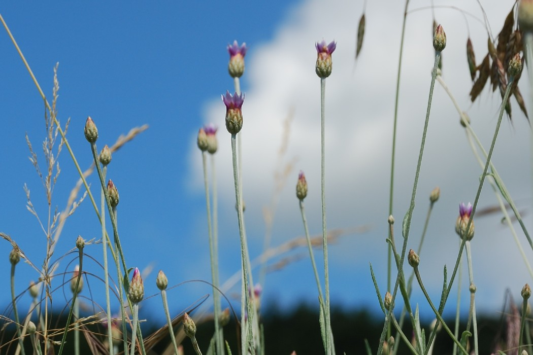 Xeranthemum cylindraceum 15