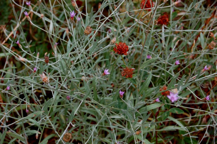 Xeranthemum cylindraceum 2