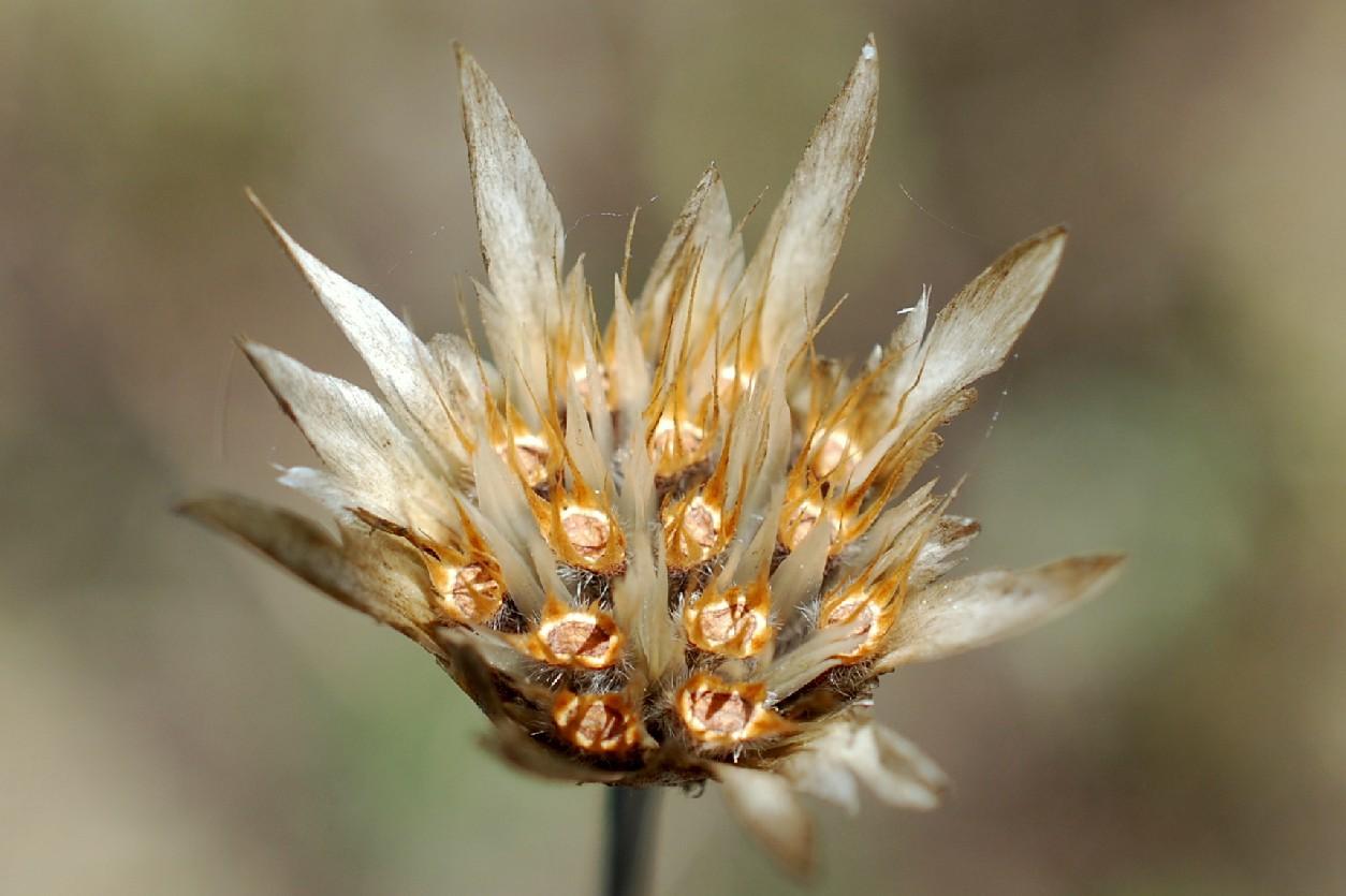 Xeranthemum cylindraceum 32