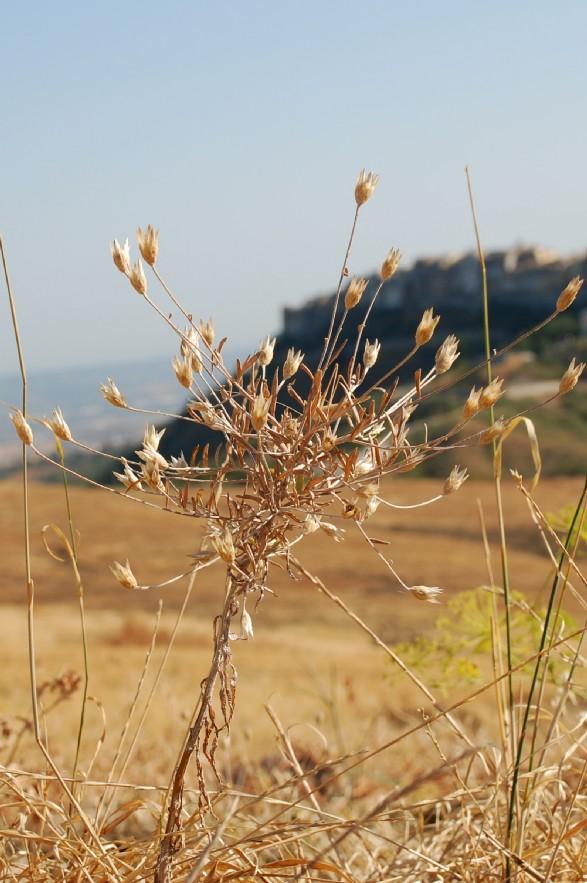 Xeranthemum cylindraceum 4
