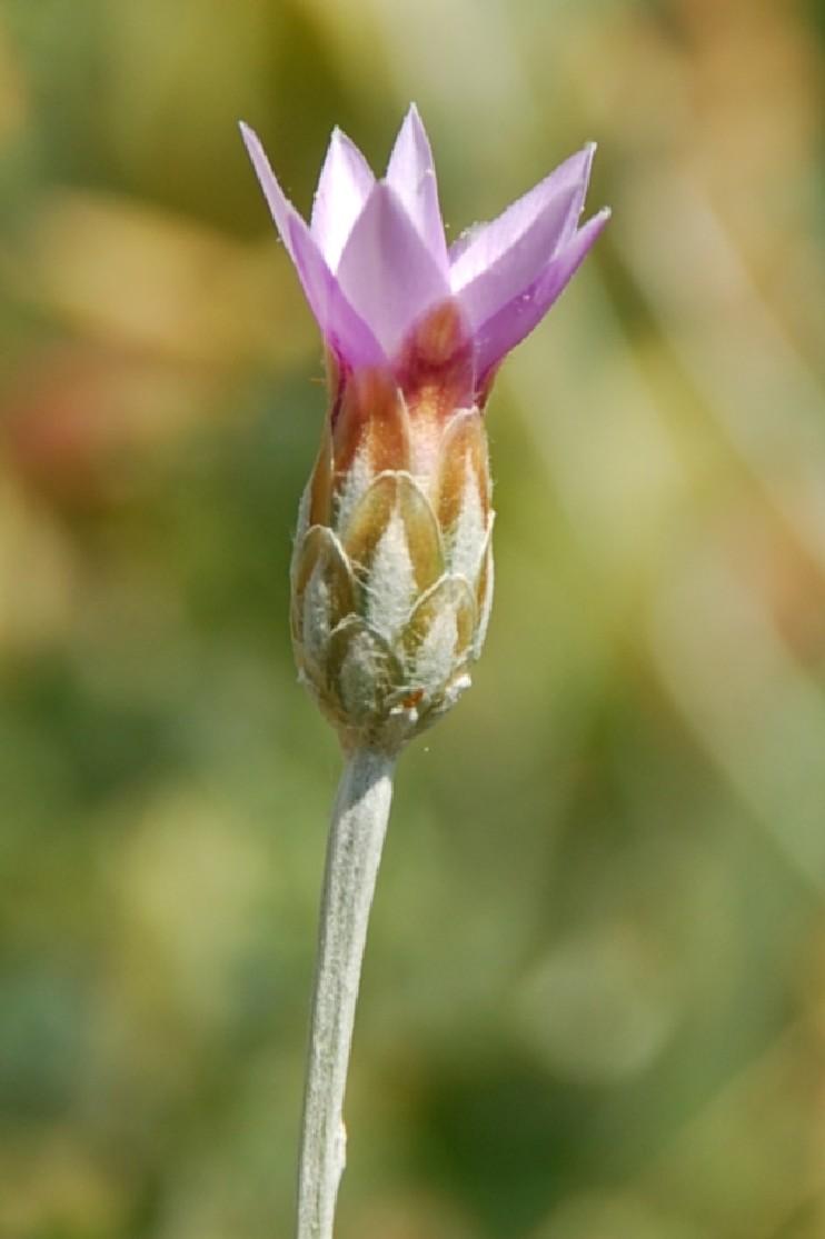 Xeranthemum cylindraceum 5
