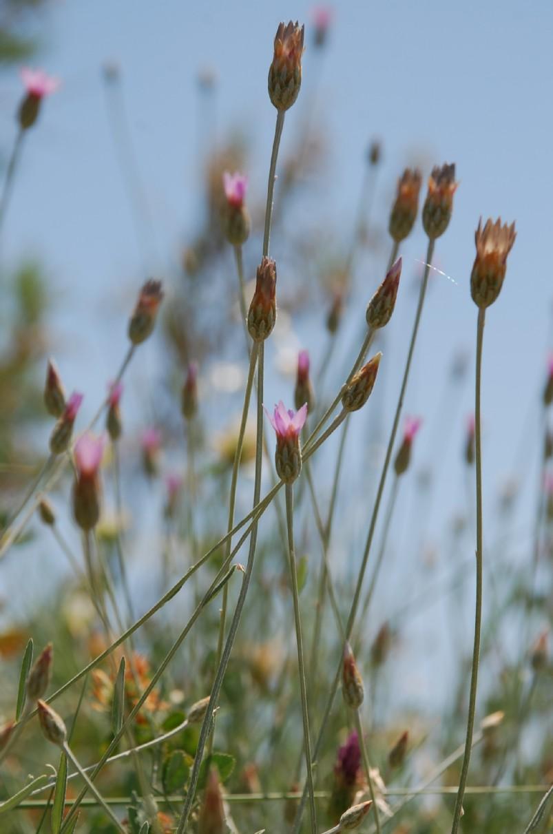Xeranthemum cylindraceum 7