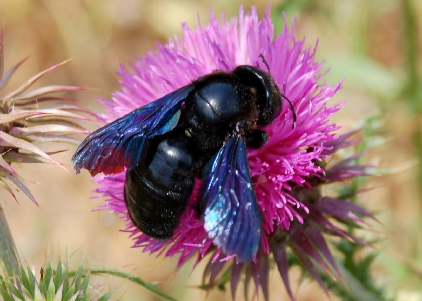 Xilocopa violacea - Apidae