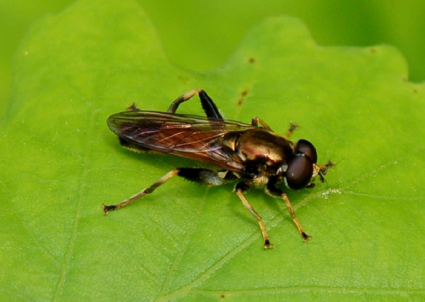 Xylota segnis - Syrphidae