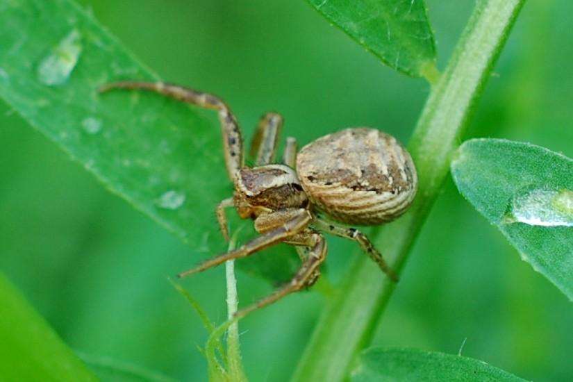 Xysticus sp. - Thomisidae