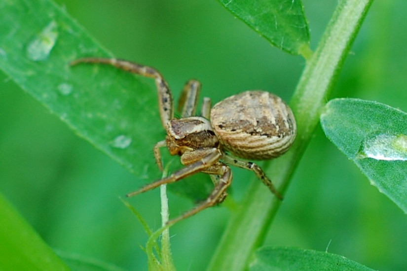 Xysticus sp. - Thomisidae