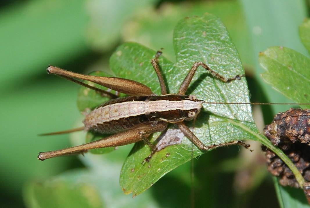 Yersinella raymondi - Tettigoniidae