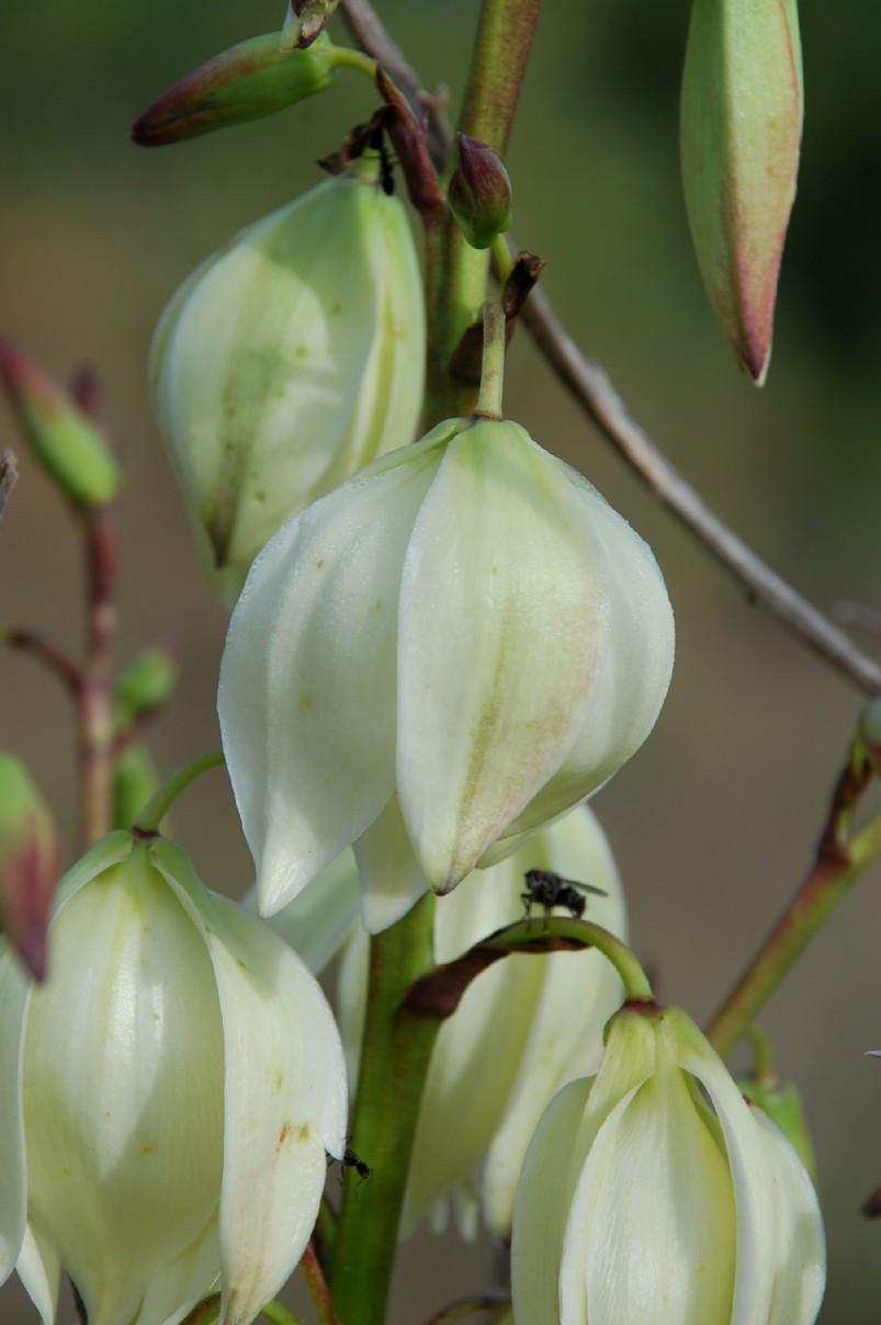 Yucca gloriosa 11