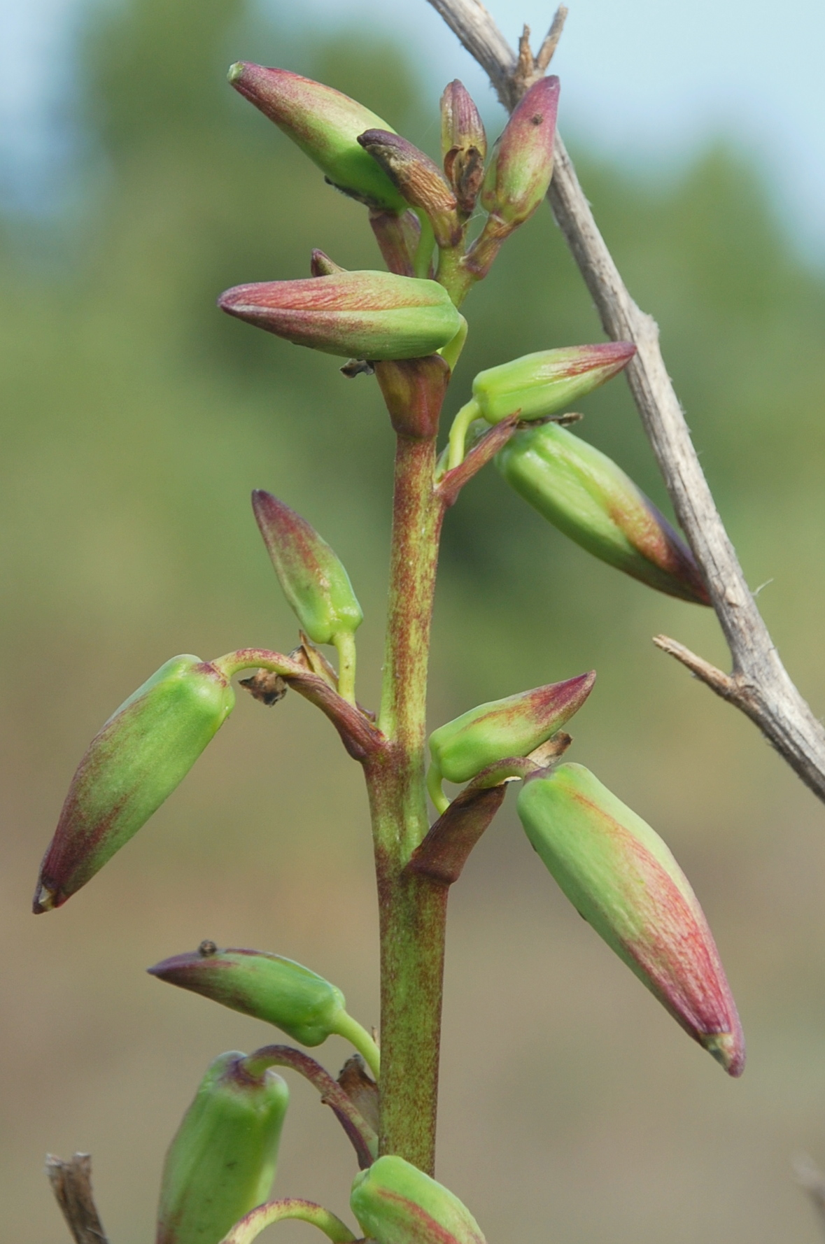 Yucca gloriosa 12