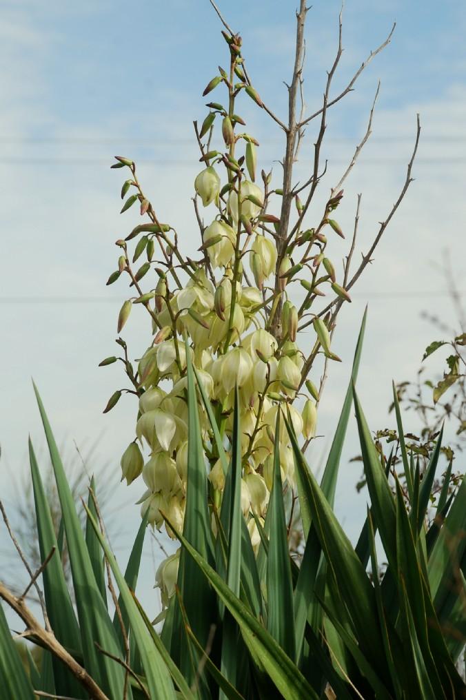Yucca gloriosa 13