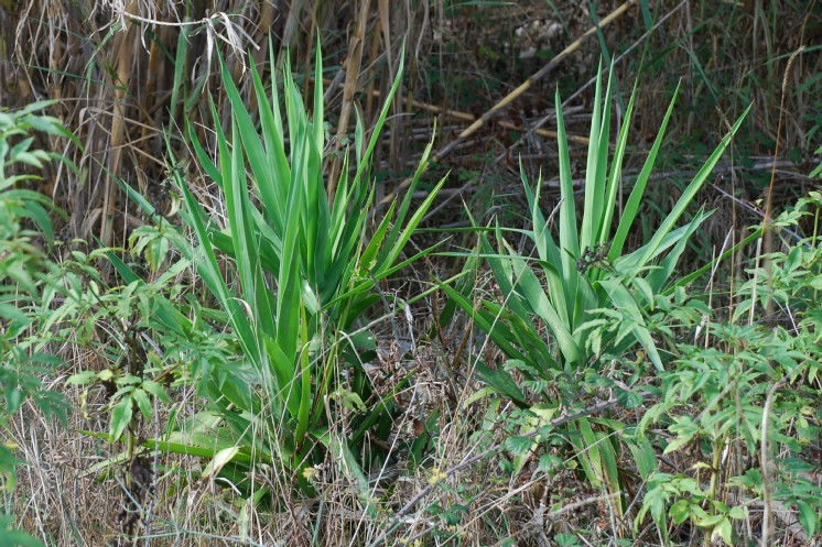 Yucca gloriosa 14