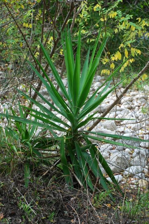 Yucca gloriosa 16