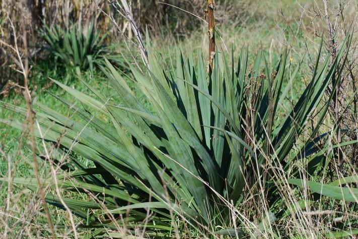 Yucca gloriosa 4
