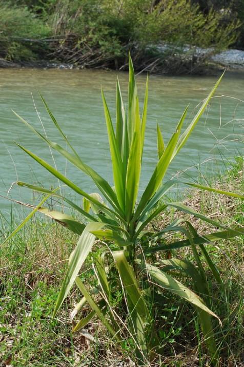 Yucca gloriosa 5