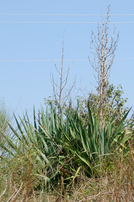 Yucca gloriosa 8