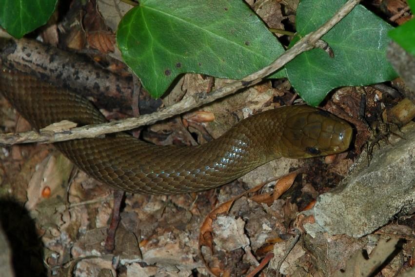 Zamenis longissimus - Colubridae