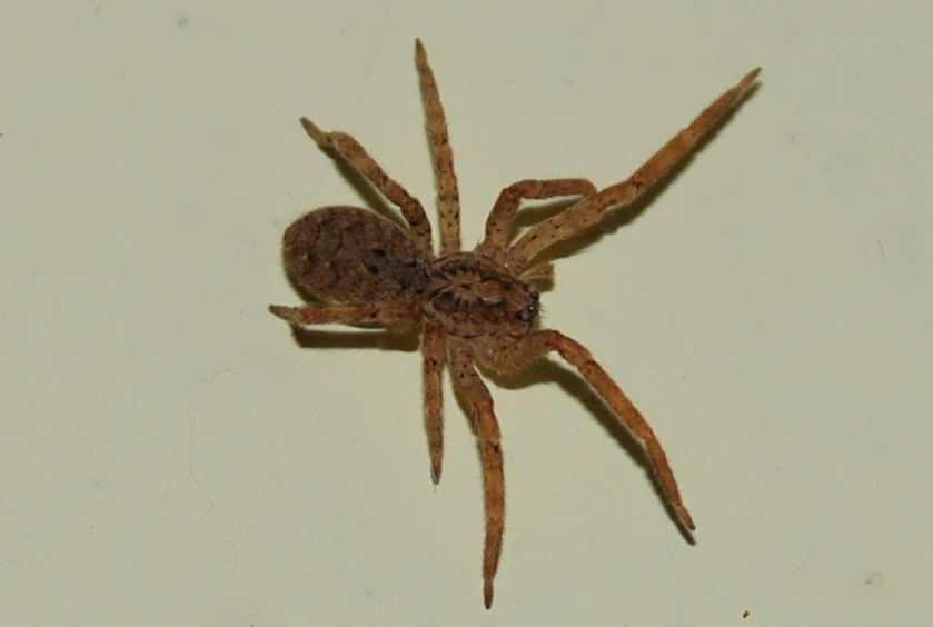Zoropsis spinimana - Zoropsidae
