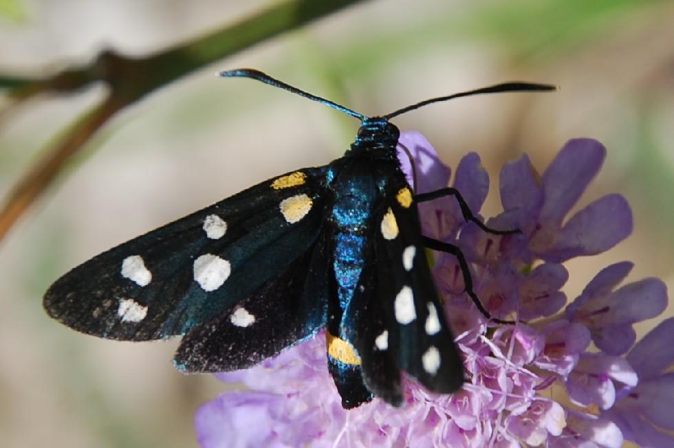 Zygaena ephialtes - Zygaenidae