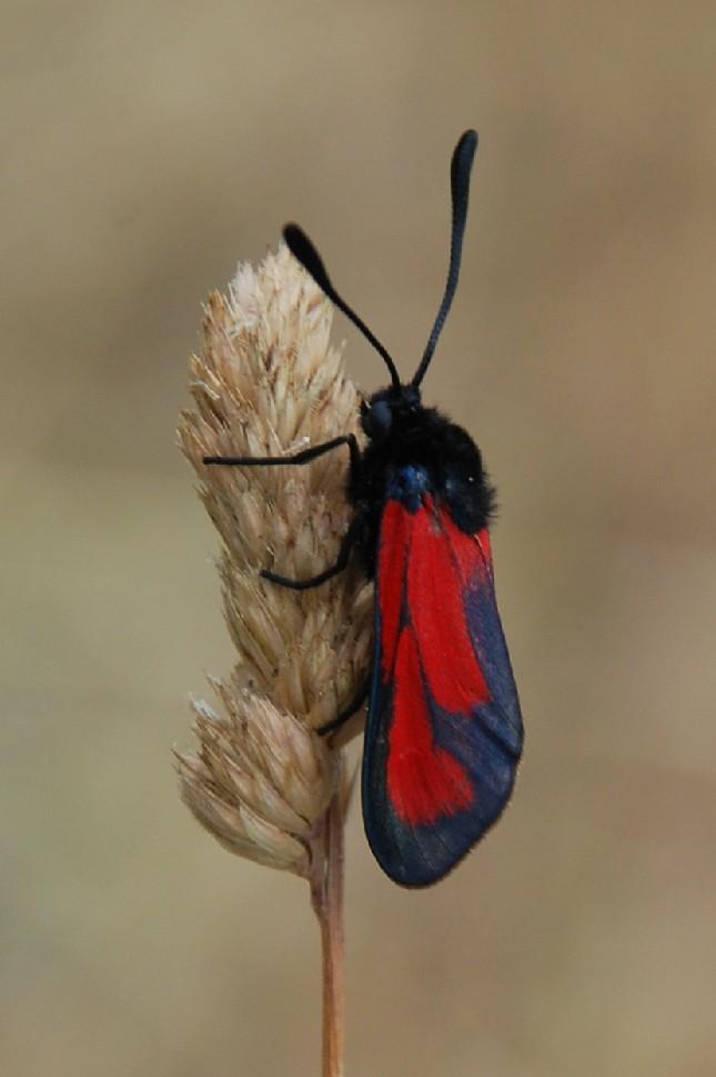 Zygaena sp.  - Zygaenidae