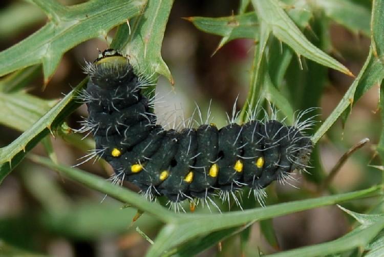 Zygaena sp. 1 - Zygaenidae
