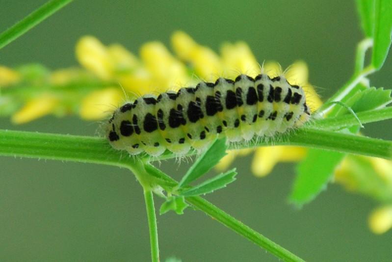Zygaena sp. 2 - Zygaenidae