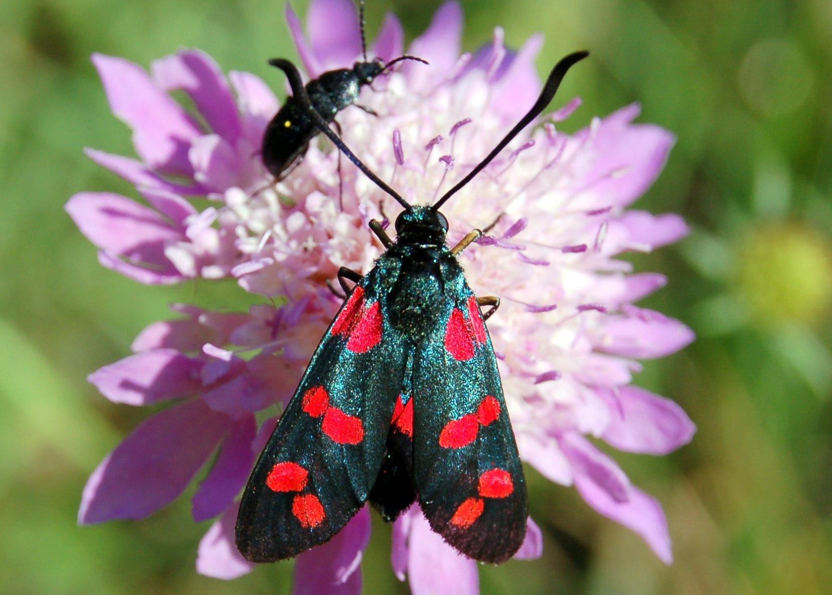 Zygaena sp. 6  - Zygaenidae