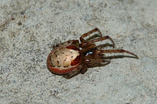 Zygiella sp. - Araneidae